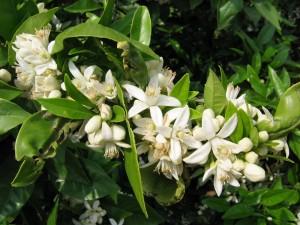 flor-de-azahar